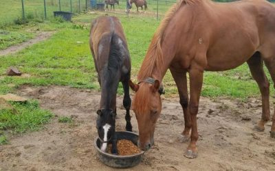 Louise (aka Porkchop) gets a thoroughbred colt